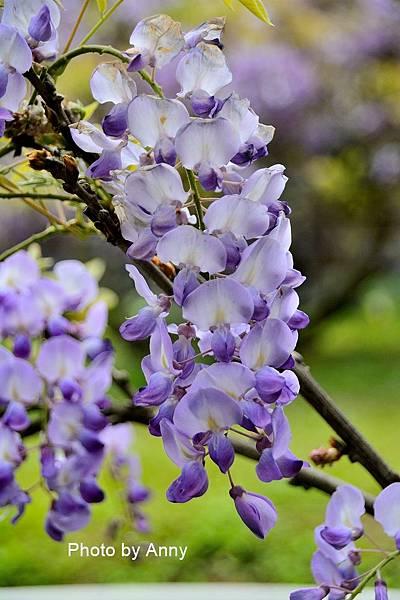 紫藤91.jpg