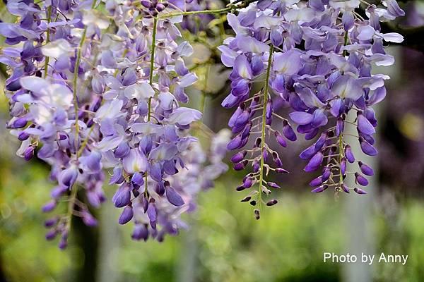 紫藤94.jpg