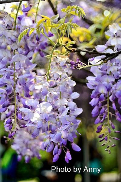紫藤97.jpg