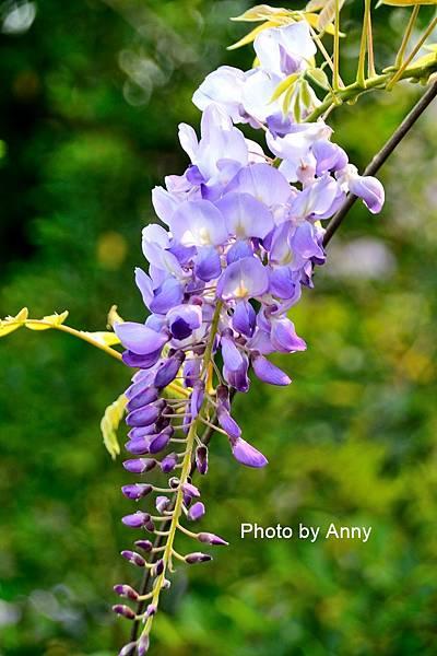 紫藤95.jpg