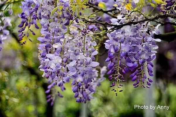 紫藤93.jpg