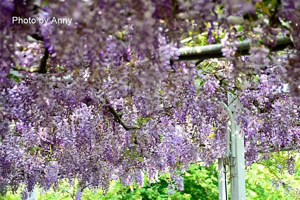 紫藤103.jpg