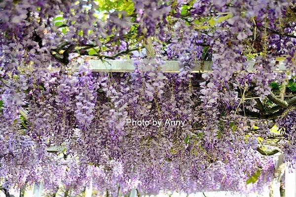 紫藤100.jpg