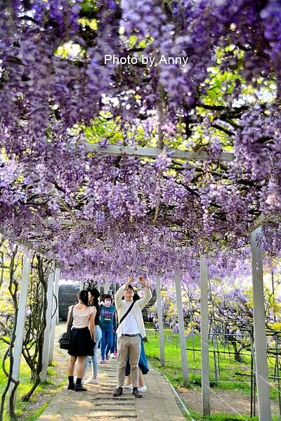 紫藤102.jpg