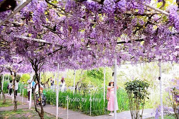 紫藤99.jpg