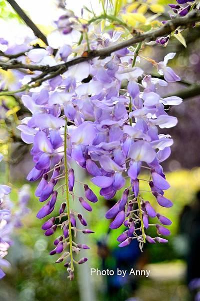 紫藤98.jpg
