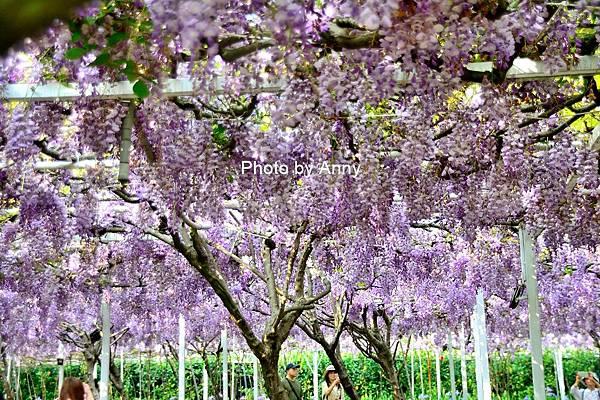 紫藤101.jpg