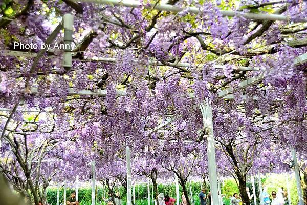 紫藤104.jpg