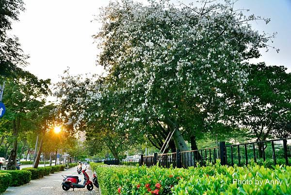 美人樹10.jpg