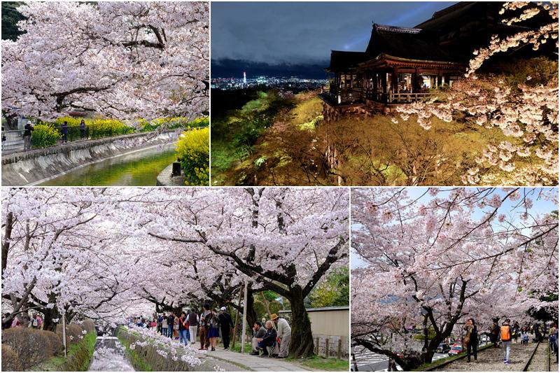 京都櫻花.jpg