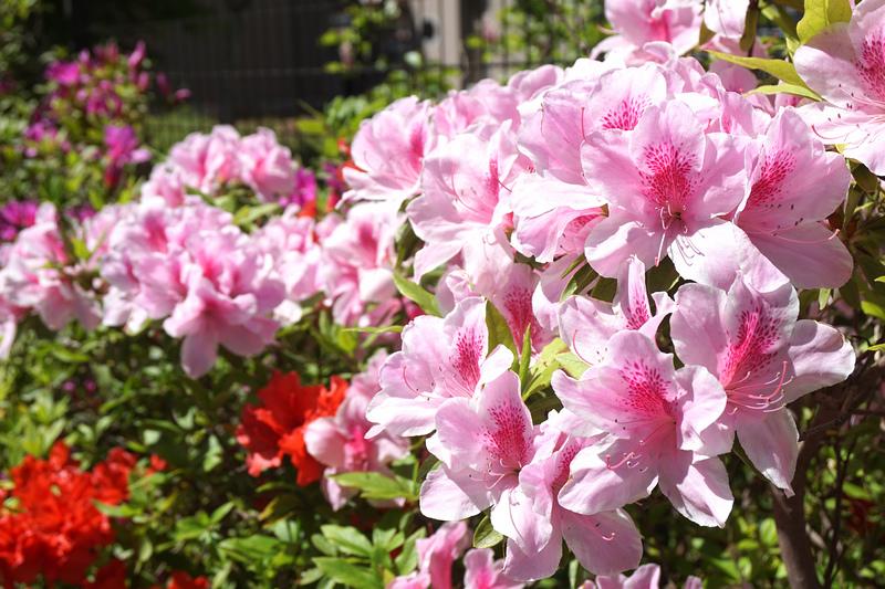 大安森林公園杜鵑花 (2).jpg