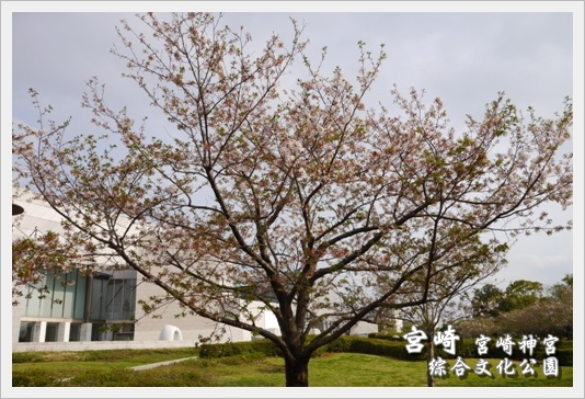 MiyazakiSkura29.JPG