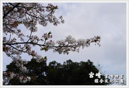 MiyazakiSkura32.JPG