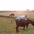 牛背上也可以睡大覺喔~