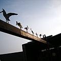黑面琵鷺觀賞區