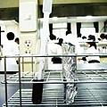實驗20 - 奈瑟氏球菌