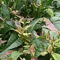 紫芽山茶01.jpg