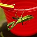 好漂亮的一隻螳螂