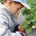 新竹採草莓