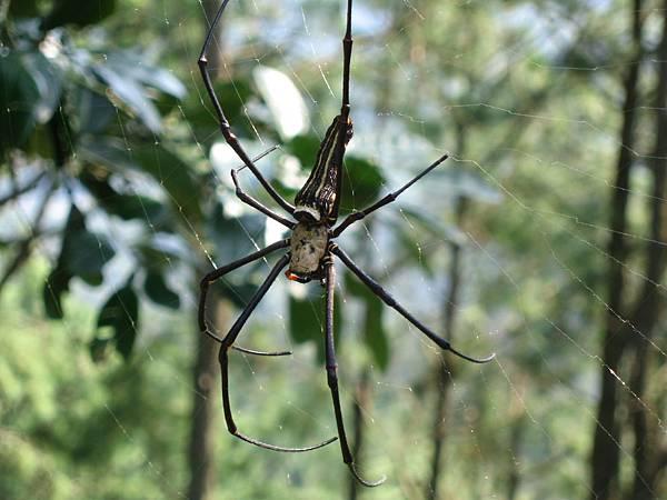2007.10.20好大的人面蜘蛛
