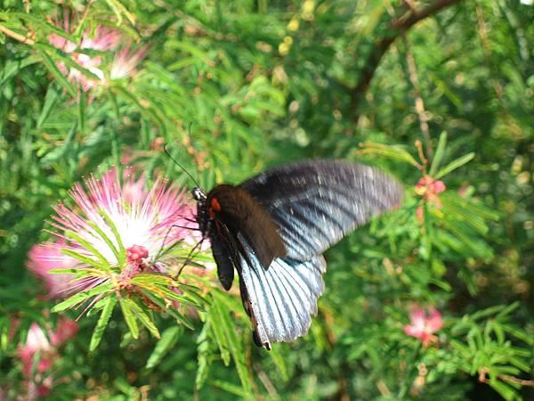 2007.10.20處處可見好美的蝴蝶