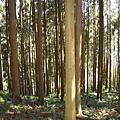 2007.11.11登鳥嘴山的入口,是一片杉林