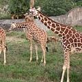 動物園裡最受歡迎的__長頸鹿!