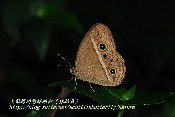 姬蛇目蝶980711天溪園(林柏昌攝)4.JPG