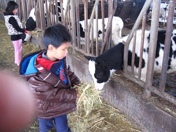 拿牧草餵小牛