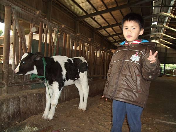 前一天剛出生的小牛