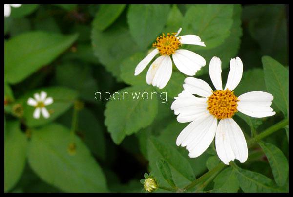 四號公園-小白花