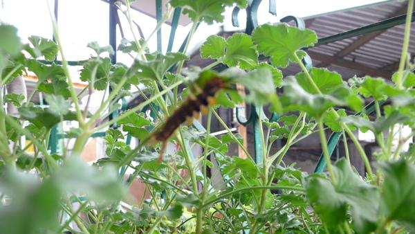 有毛蟲在我的盆栽上長大