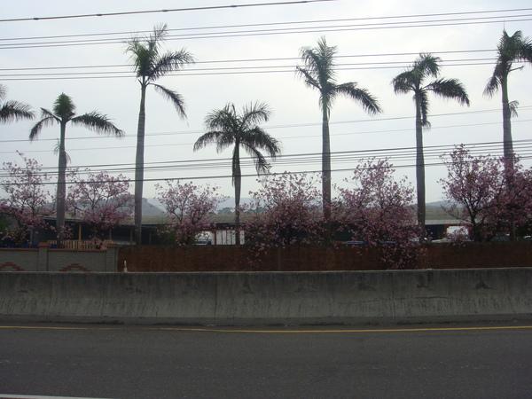 沿途中..路邊盛開的櫻花.jpg