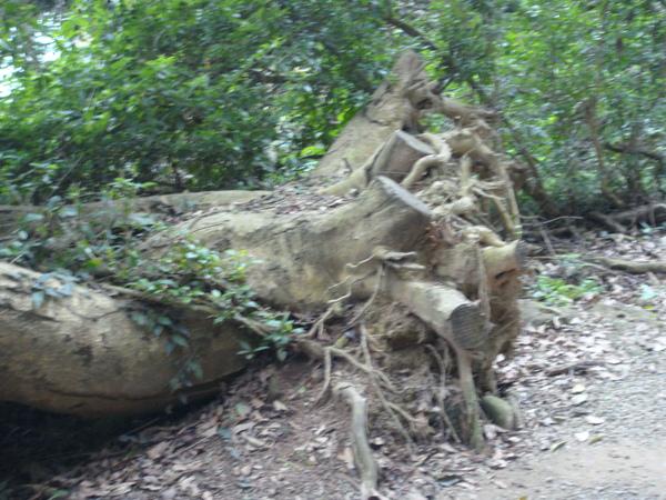 路中的斷樹