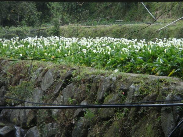 真的是海芋季...竹仔湖開了很多海芋呢
