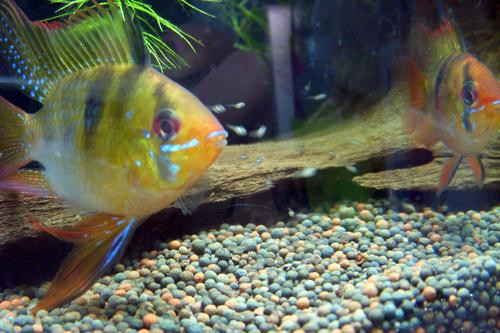 圓球鳳凰對魚