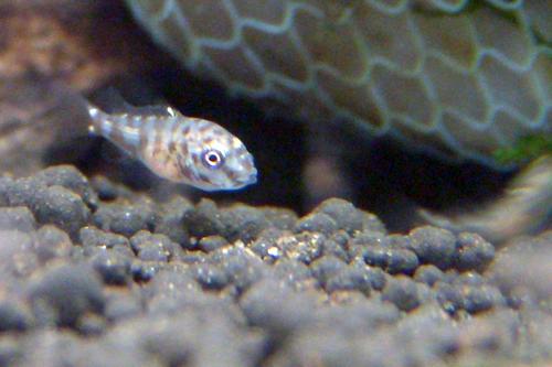 2週大的小魚