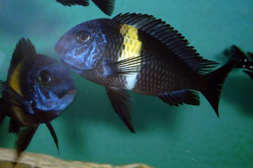 [轉載] 珍珠蝴蝶成魚