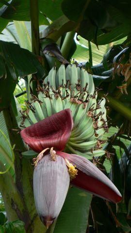 民宿外的芭蕉樹