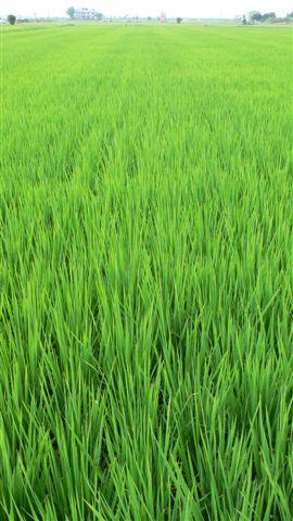 民宿旁的稻田
