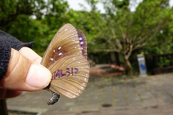 標記代號ML312的斯氏紫斑蝶-2.jpg