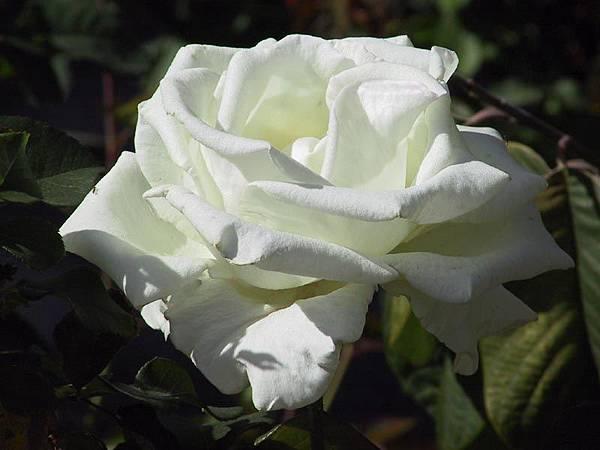 White-Rose-10.jpg