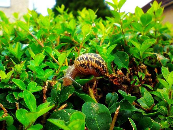 新嫩的綠葉與蝸牛