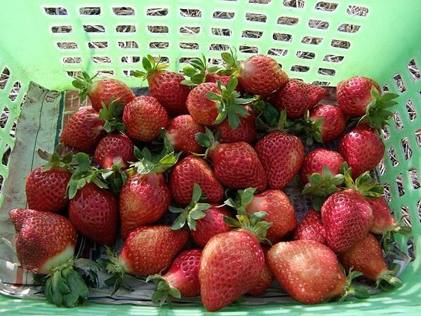 2015-01-19苗栗大湖採草莓