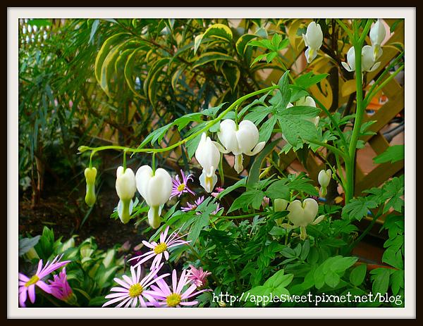 2010.04.22--溫室裡的愛心形狀宿根草