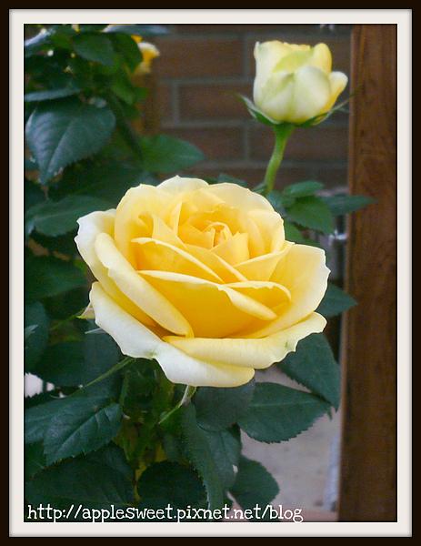 2010.04.22--超級漂亮的黃色玫瑰