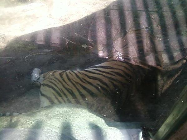 睡覺中的老虎