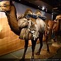 絲路展路口處駱駝