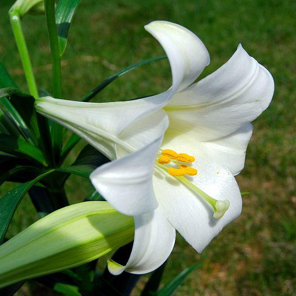 Lilium_longiflorum_(Easter_Lily)