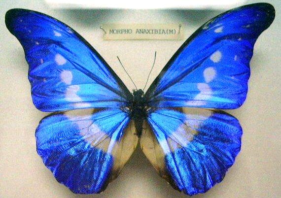 Butterfly_Morpho_rhetenor_helea_(M)_KL